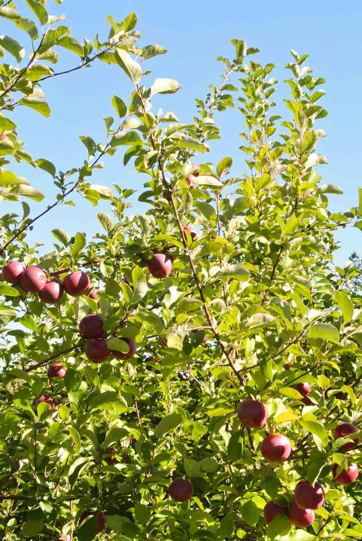 New Hampshire Apple Picking