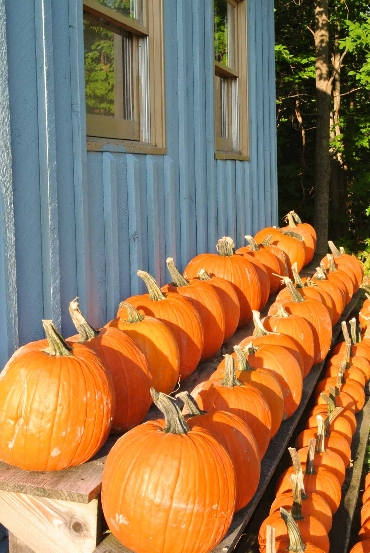 New Hampshire Pumpkin Patch