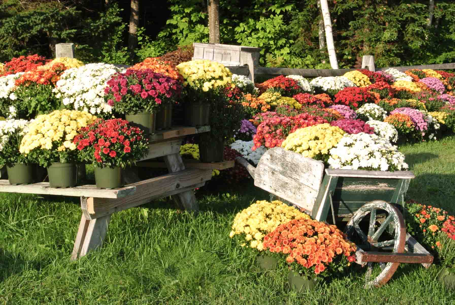 New Hampshire Mums